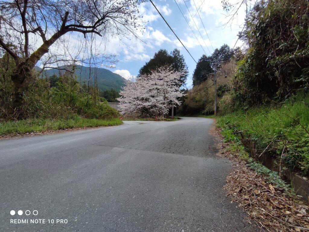 道路と桜の木